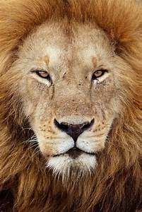 animal, beauty, fierce, lion, nature, roar, strength ...