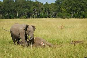 Baby Elephant Mourns Loss Of Mother In Kenya's Masai Mara ...
