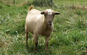 Cocoa - Nigerian Dwarf Goat Doe