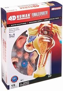 Human Anatomy Model Learning Nursing Medical Science Human