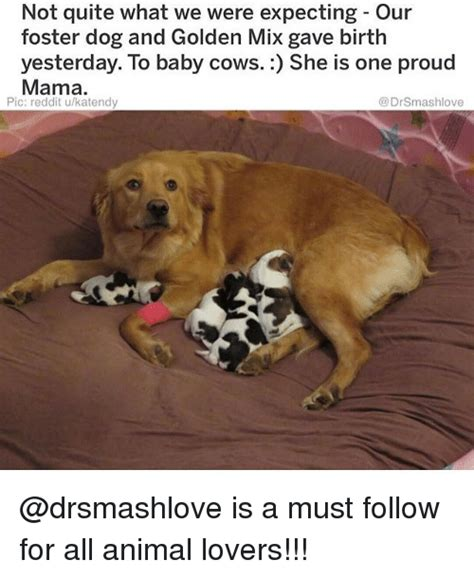 Baby Animal Memes 25 Best Memes About Baby Cows Baby Cows Memes