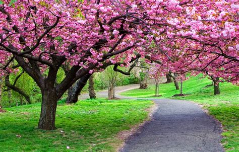 cherry blossom tree l never enough gratitude april 2014
