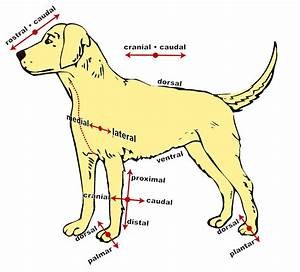 Dog Anatomical Diagram  U00b7 Free Vector Graphic On Pixabay