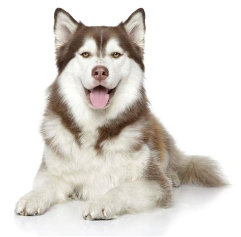 Cute White Puppies Wallpaper 50 Exclusive Siberian Husky Dog Photos Golfian Com