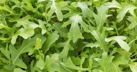 Rucola Pflanzen, Pflegen, Ernten