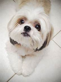 top 5 dog breeds that don t shed breed 02 too cute