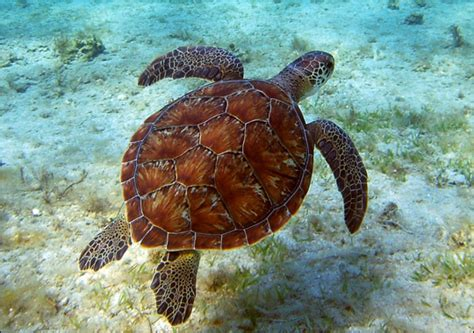 images  green sea turtle images