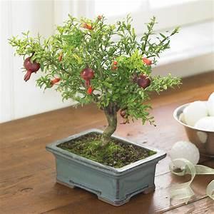 Pomegranate Bonsai Tree - The Green Head