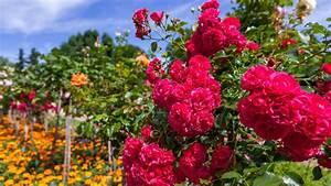 Begleitpflanzen Für Rosen : schon gewusst bananenschalen eigenen sich prima als d nger f r rosen ~ Orissabook.com Haus und Dekorationen