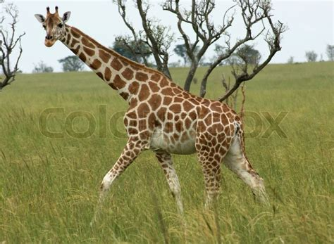 Giraffe Walking Through African Savannah