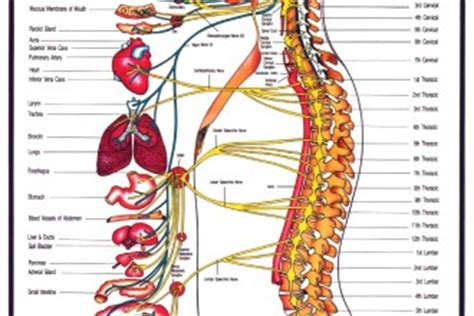 This type of action potential propagation is called saltatory conduction (red arrows in the diagram). nervous system disgrams : Biological Science Picture ...