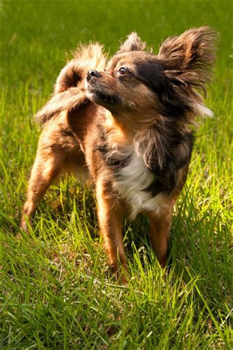 brown long haired chihuahua google search chihuahua