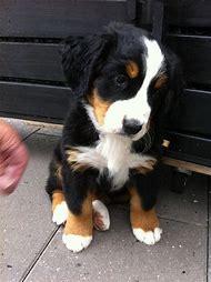 Cute Bernese Mountain Dog Puppies
