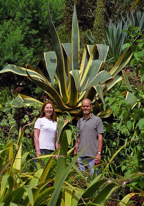 tresco abbey gardens scilly isles uk  giant agave