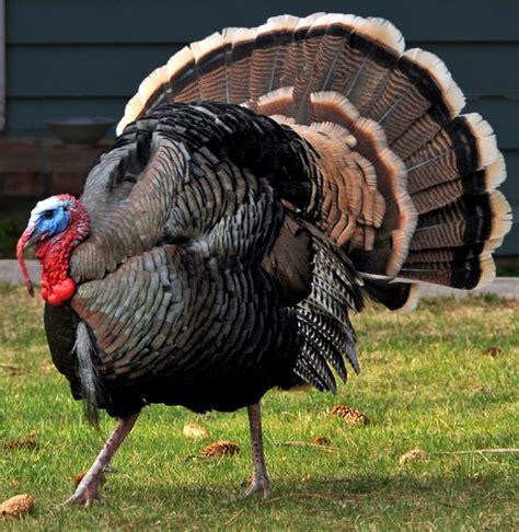 bill   feeding wild turkeys illegal natural
