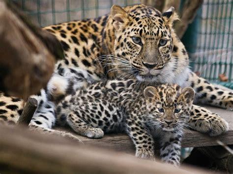 Leopard Kittens Bring Joy To Prague Zoo