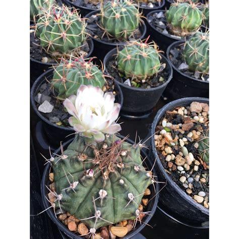 ส่งทั้งกระถาง- Cactus Gymno # ยิมโนแคคตัส #แคคตัสราคาถูก ...