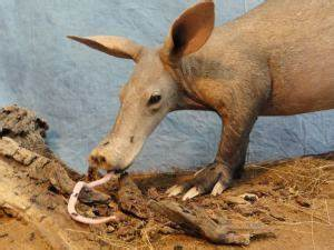 Aardvark - cousins of the elephant - Learn about animals ...