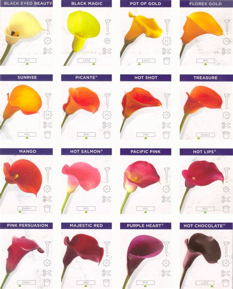 calla colors calla varieties seasonal flowers for october