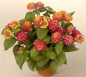 Oleander Winterhart Kaufen : k belpflanzen transportieren tragegurt oder k belroller ~ Eleganceandgraceweddings.com Haus und Dekorationen