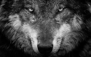 Wolf Black And White Portrait Wallpaper Wallpaper Studio