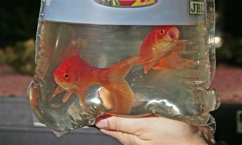 fische ins aquarium einsetzen das einsetzen der fische
