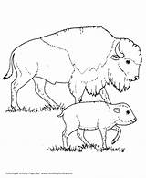 Coloring Bison Pages Wild Animal Animals Mother Calf North Drawing Buffalo America Honkingdonkey Sheet sketch template
