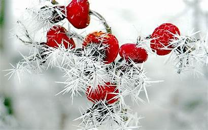Winter Berries Snow Frost Rose Nature Hips