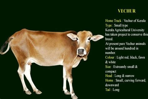 types  pure indian breed cows  give    milk