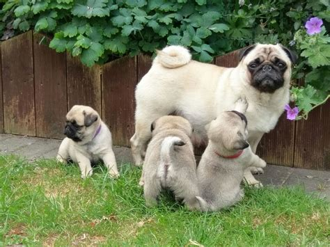Fawn Silver/platinum Pug Puppies