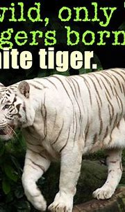 White tiger fact in 2021 | White tiger facts, White tiger ...