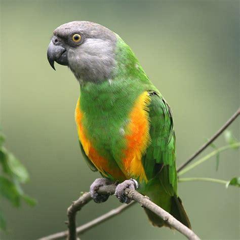 senegal parrot senegal parrot petshoptop