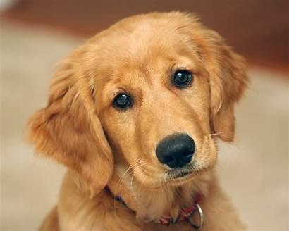 Pet Retriever Golden Puppy Dogs Animals Dog