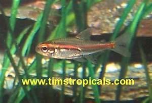 Glowlight Tetra Aquarium Fish Tank Mates