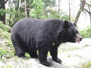 Himalayan-Black-Bear | Animals 2 | Pinterest