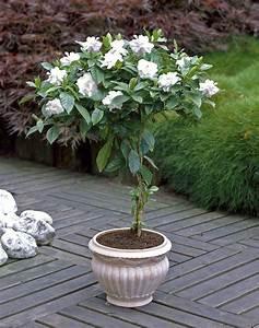 Gardenia Jasminoides Pflege : growing gardenias in pots gardenia tree care and how to ~ A.2002-acura-tl-radio.info Haus und Dekorationen