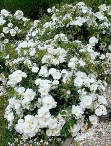 rosiers paysager planter et cultiver ooreka With modeles de rocailles jardin 7 achillee planter et cultiver ooreka
