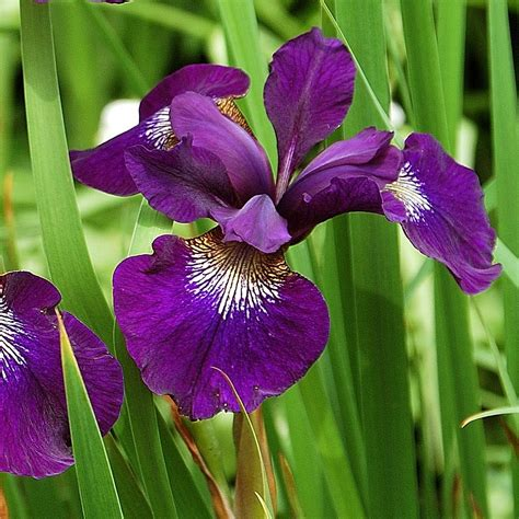 teal iris plant images