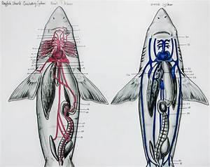 Dogfish Shark Circulatory By Jacquelinerae On Deviantart