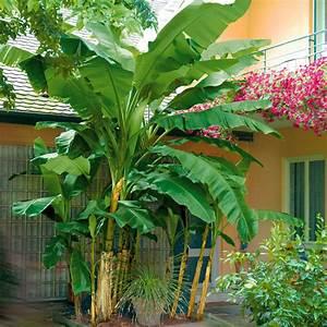 Winterharte Pflanzen Liste : winterharte bananen staude online kaufen bei ahrens sieberz ~ Michelbontemps.com Haus und Dekorationen