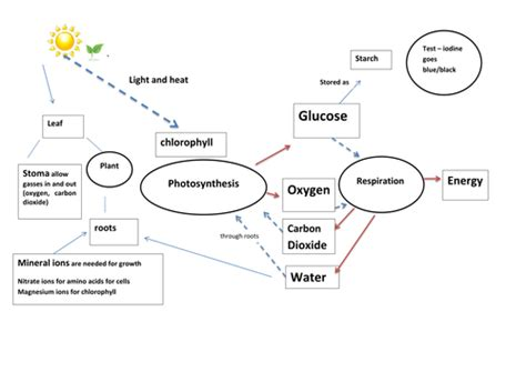 photosynthesis and respiration process diagram by graham