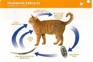 cat roundworms roundworms in cat vomit www imgkid the image kid