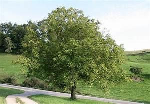 Walnussbaum Selber Pflanzen : vom wesen der pflanzen teil 3 garten weden blog ~ Michelbontemps.com Haus und Dekorationen