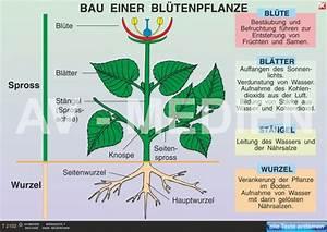 Bau Der Pflanze : best ubung befruchtung bl tenpflanzen automobil bau ~ Lizthompson.info Haus und Dekorationen