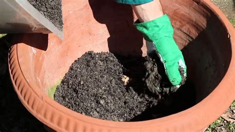 coltivare zenzero vaso coltivazione zenzero in vaso viyoutube