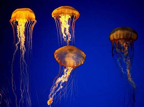 jellyfish wallpaper full desktop backgrounds