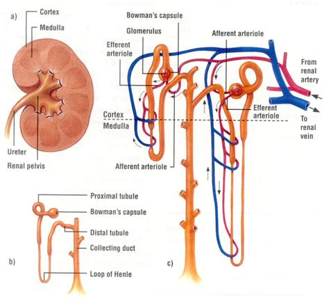 Diagram Of The Kidney Structure by Kidney Important Organ Of Human Stucture Function