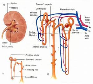 Kidney  Important Organ Of Human Body  Stucture  U0026 Function