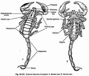 Scorpions  With Diagram