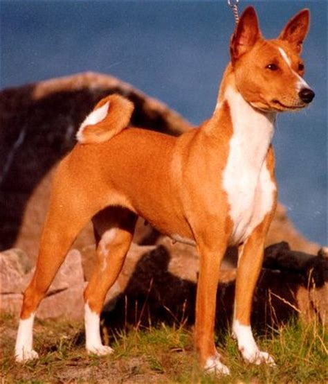 basenji shedding puppy coat basenji breed and photos and list of dogs breeds